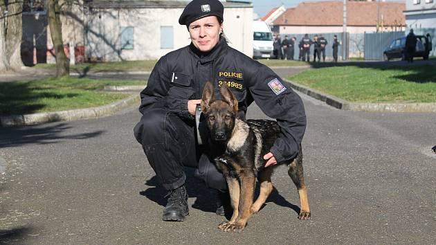 Místní policejní kynologové mají dvě nové posily. Čtyřměsíční štěňata Německého ovčáka Bára a Asko (na snímku) jsou od minulého týdne oficiálními policisty. Askova cvičitelka Martina Rosendorfová (na snímku) má Aska u sebe doma, aby s ním mohla denně cvič