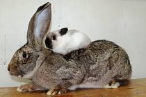 Největší a nejmenší králík na výstavě, váhový rozdíl 6 kg.