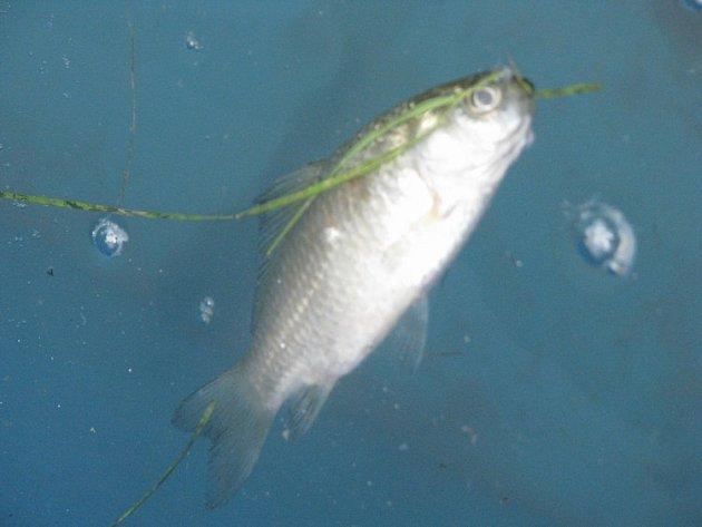 Z výlovu ryb ze znečištěného mšenského rybníku Černík