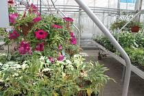 Až do neděle 14. července mají zájemci možnost navštívit prodejní výstavu fuchsií, která se koná v areálu Zahradnictví Petro v Mělníku. Součástí výstavy je také prohlídka bylinkové zahrádky.