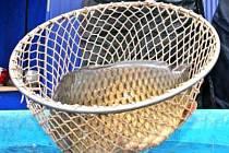 KAPŘI MUSÍ PLAVAT!  Kádě s kapry nesmí prodejci přeplňovat. Poměr mezi objemem kaprovité ryby a vody se musí pohybovat mezi 1:2 až 1:1,5 při teplotě vody do 10 stupňu Celsia.