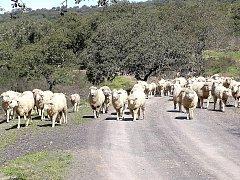 Mezi korkovými duby se pasou stáda koz a ovcí.