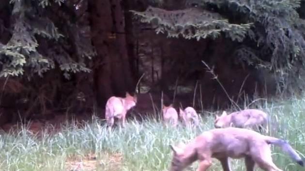 Na záběrech z fotopasti se objevila 4 nová vlčata.