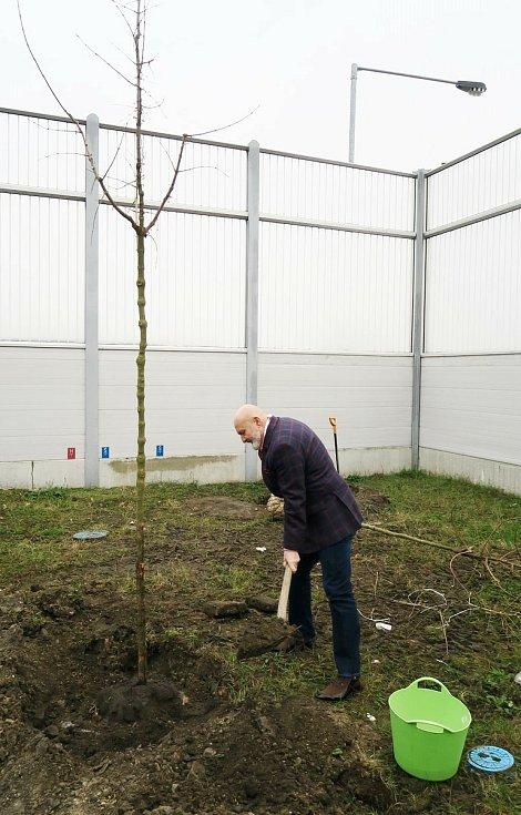 První v zemi ukotvený strom zasypává zeminou starosta Mělníka Ctirad Mikeš