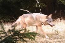 Fotopast zachytila na Kokořínsku vlka.