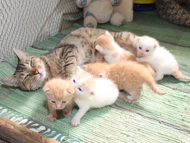 Kočka, které lidskou nerozvážností přišla o svá koťátka, se ujala pěti sirotků, které někdo sebral mámě a nechal je v krabici před mělnickým marketem.
