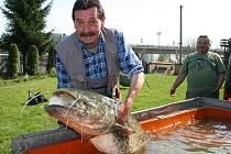 Dárek z jižních Čech, skoro dvoumetrového sumce Standu, dostali mělničtí rybáři.