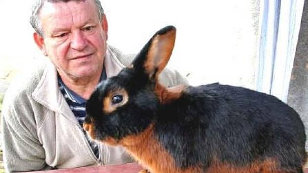 NA VÝSTAVĚ.  Předseda základní organizace chovatelů v Chlumíně obráží výstavy s šesti až devíti tříslovými černými králíky. Na evropské výstavě se ceny nedočkal. V Čechách však se svým chovem slaví větší úspěchy.