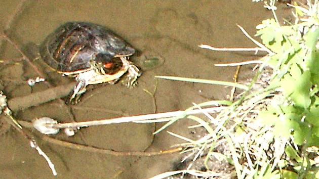 Želva v českých vodách patří k výjimce.
