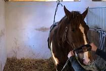 Hasiči vyjeli na pomoc koni, který upadl ve stáji a nedokázal se sám postavit.