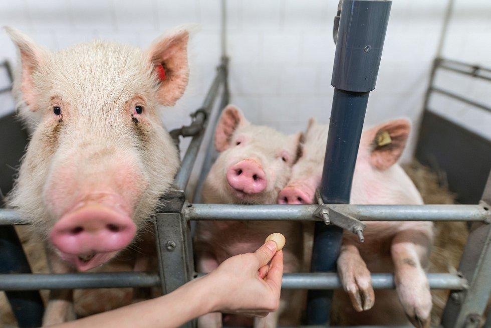 Moderní výzkumné centrum PIGMOD v Liběchově, spadající pod Ústav živočišné fyziologie a genetiky Akademie věd ČR, vyvinulo biomedicínský model spočívající v genové terapii.