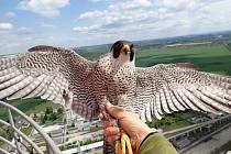 Samice hnízdící v roce 2020 v Elektrárně Mělník u Horních Počapel má německý odečítací kroužek.