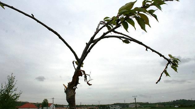 Takto vypadají stromy, které nenechavec poškodil