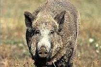 DO VESNICE!  Divoká prasata opouštějí lesy a pole a míří k vesnicím. Na zahradách přitom dokáží nadělat pěknou paseku.