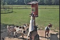 Místní samoobsluha. Kozy už jsou tak zvyklé na krmení, že si počkají, až hodíte do automatu desetikorunu a pak vás vyženou a sežerou si to samy.