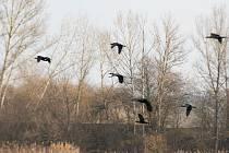 Pískovnu Baraba ve Vliněvsi na Mělnicku obsadili místo výletníků ptáci.