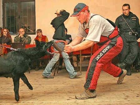 Při nácviku si likvidaci pachatele zkusili mladí psi  ostřílení profesionálové, kteří už mají za sebou jak dlouholetý výcvik, tak i praxi.