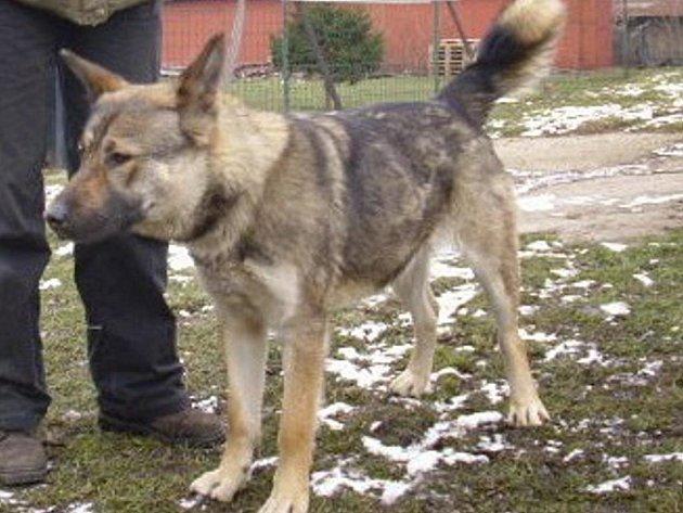 Sandy je roční kříženka německého ovčáka a severského plemene. Je temperamentní ale moc hodná.