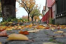 Vedení mělnické radnice nemůže slíbit, že dokáže zachránit všechny sakury ve Fričově ulici.
