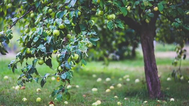 Strom jabloň ilustrační
