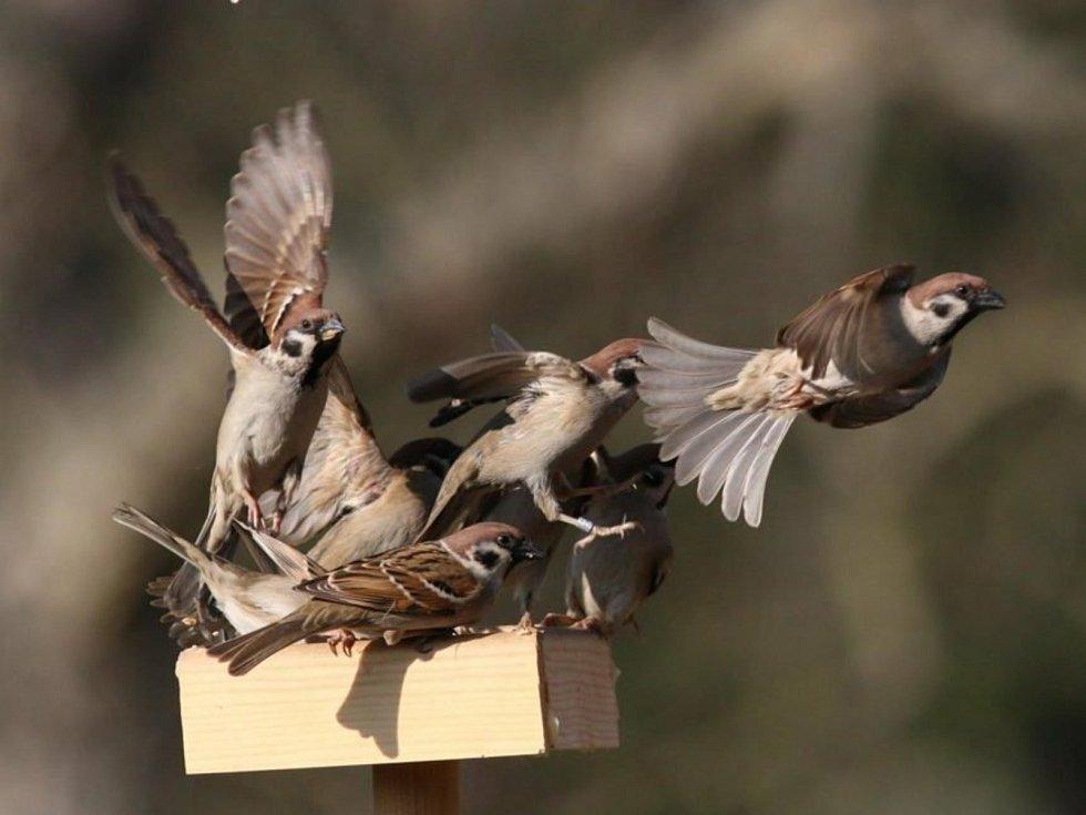 Vrabci polní.