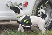 Rok a půl starý jack russel teriér spolu se svým psovodem mají za sebou od loňského prosince už dva záchyty.