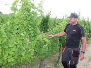 Na odhad sklizně je podle  Roberta Žáry z mělnického vinařství Bettina Lobkowicz ještě brzy. Období dozrávání přichází teprve během srpna a září, což jsou měsíce, které rozhodnou o tom, jaká bude letošní úroda.
