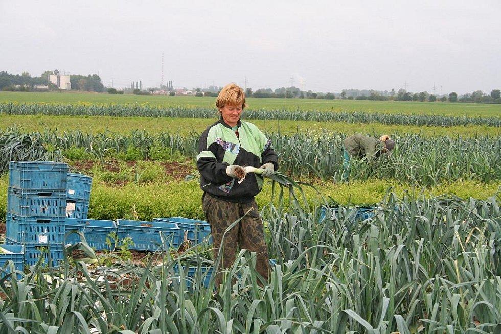 Pěstitelé Svačinovi z Ovčár mají pórku hodně, zájem obchodníků však není velký