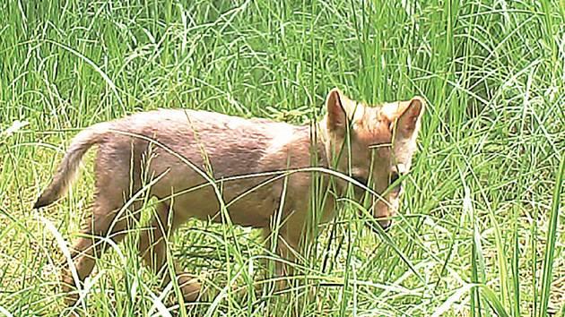 Mládě vlka zachytila fotopast instalovaná v  Břehyni – Pecopale.
