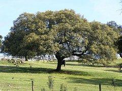 Kokorkové duby bývají vysoké skoro dvacet metrů, kůra je silná  až deset centimetrů