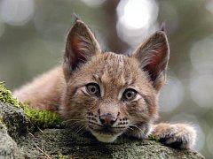 V Beskydech žije v současné době šestnáct rysů, deset vlků a pět medvědů.