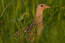 Ochránci přírody se chystají mapovat výskyt chřástala polního v Beskydech.