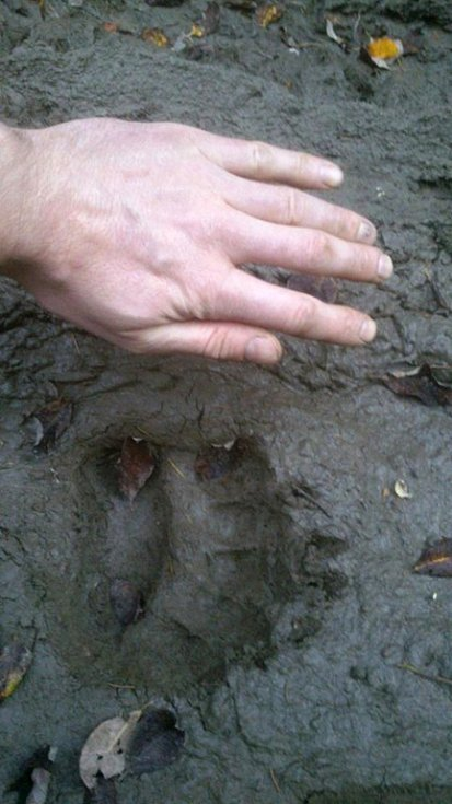 Medvěd se potuluje po Vsetínsku. Dokazují to jeho čerstvé stopy, které v tomto týdnu zadokumentoval jeden z valašských lesáků na Vsetínsku.