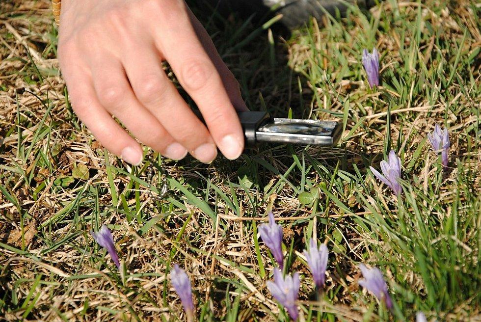 Kvetoucí kriticky ohrožený šafrán bělokvětý na Vsetínsku a Valašskokloboucku.