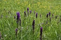 Vzácná luční orchidej - Prstnatec májový
