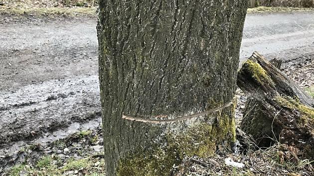 V Zašové na Vsetínsku neznámý pachatel podřezal bez povolení 28 stromů, které mají ustoupit stavbě protipovodňových opatření; čtvrtek 18. března 2021