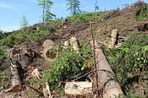 Těžba kůrovcem napadeného dřeva.