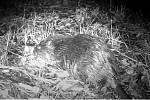 Mladý bobr zachycený fotopastí v Novém Hrozenkově.