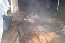Až pomocí jeřábu se hasičům podařilo vytáhnout kobylu, která krátce v pondělí před desátou hodinou večer v Jablůnce spadla do žumpy.