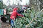 Pracovníci společnosti Městské lesy a zeleň Valašské Meziříčí zahájili výřez vánočních stromků v místních částech Podlesí a Bynina.