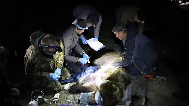 Ochránci přírody prohlížejí a měří medvědici, kterou v pondělí 8. dubna 2019 odchytili do speciální klece v oblasti Lysé hory v Beskydech.