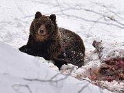 Medvěd hnědý v Beskydech, jak jej na konci ledna zachytil Václav Tomášek.