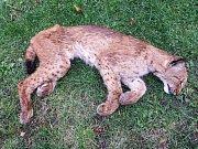 Mrtvou rysici Lauru, kterou ochránci přírody objevili loni v říjnu poblíž Ostravice pod Lysou horou v Beskydech, má na svědomí pytlák.