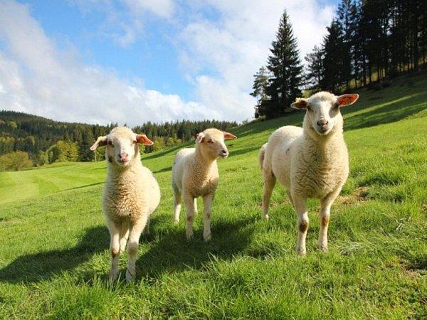 Hotelové ovečky uHoralu