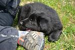 Psi nemohli v době pandemie na cvičáky. Chybí jim socializace. Na snímku štěně německého ovčáka Amonet.