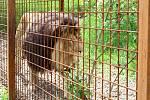 Lev Fufi ve výběhu u soukromého chovatele Zděchově.