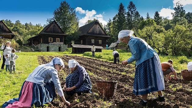 Sběr brambor na poli v areálu Valašské dědiny ve Valašském muzeu v přírodě v Rožnově pod Radhoštěm.