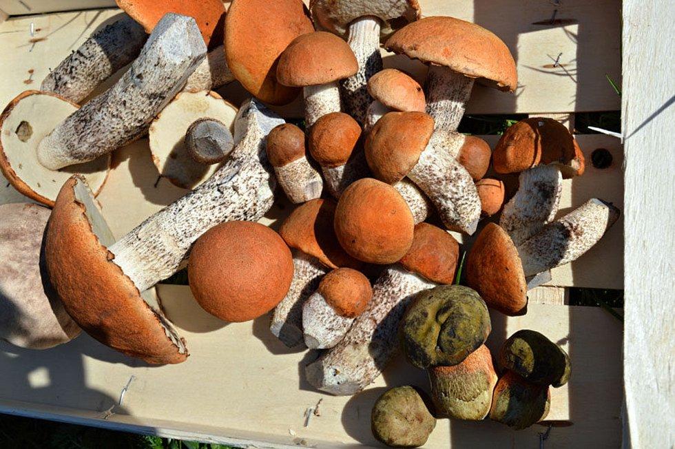 Předposlední týden v srpnu 2019 byly lesy na Valašsku plné hub. V Beskydech bylo také plno křemenáčů.