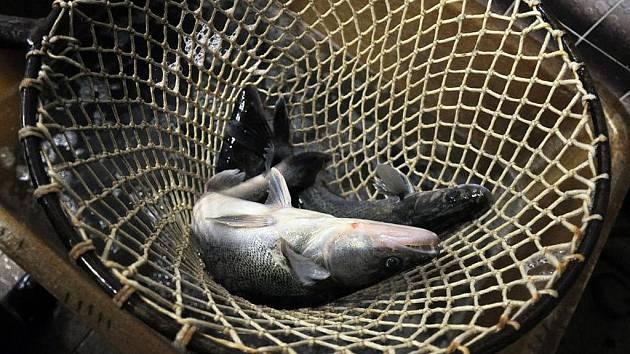 Pracovníci sádek v Zubří na Rožnovsku se mají před Vánoci co otáčet. Kapry a další druhy ryb rozvážejí na prodejní místa po celém Vsetínsku a také na Přerovsko či Novojičínsko.