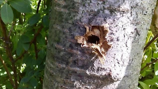 Nenávratně poškozené stromy ve valašskomeziříčských ulicích Sokolská a 1. máje. Neznámý vandal je navrtal a do otvorů vlil chemickou látku (červenec 2019).